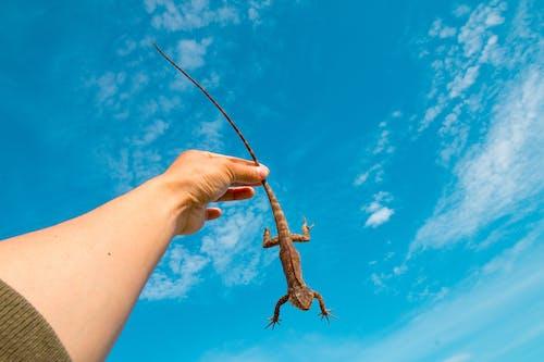 Безкоштовне стокове фото на тему «дика природа, екзотичний, Рука, ящірка»