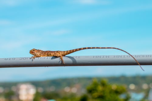 Brown Lizard Crawling On Coated Wire