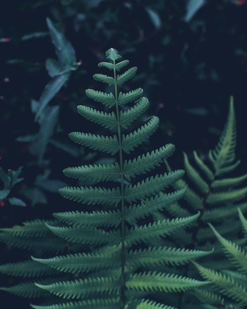 Photos gratuites de centrale, feuilles de fougère, fougère, fronde