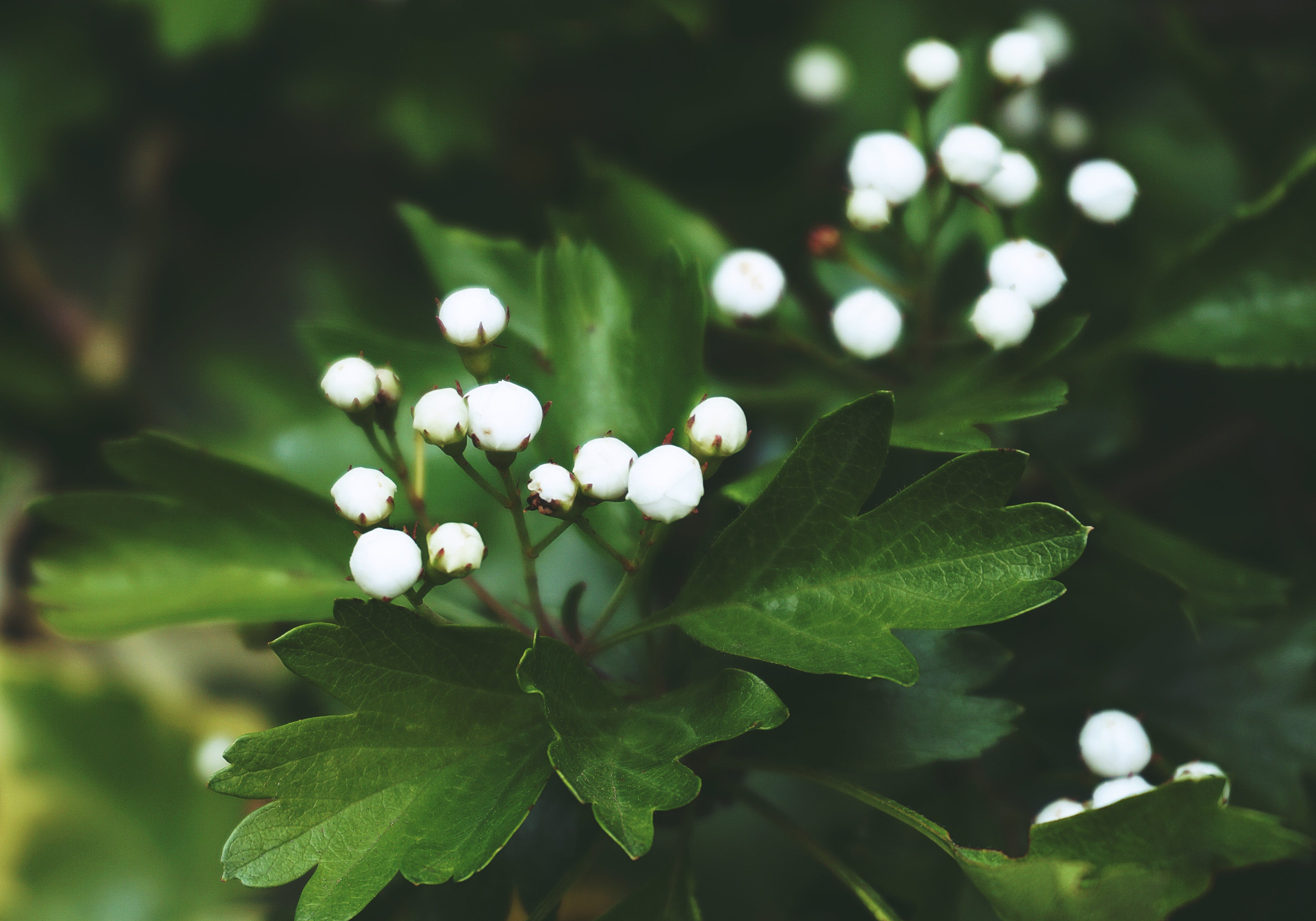 Close-up Photo of White Flower Buds