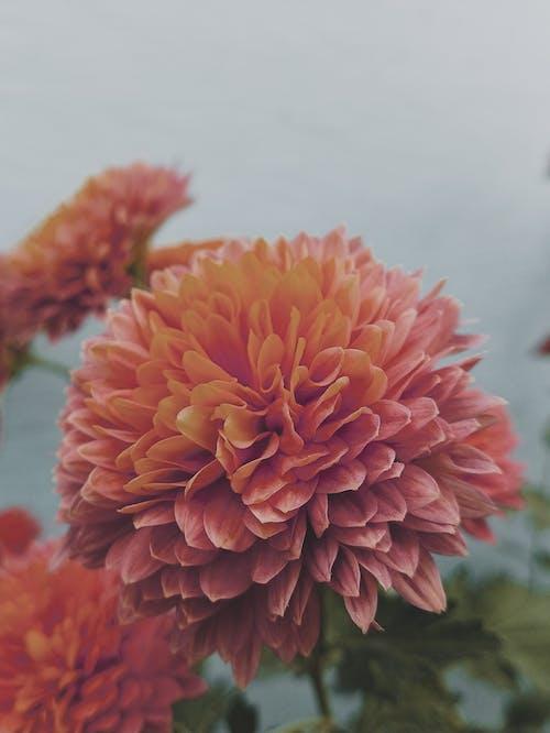 bulanık arka plan, çiçeklenmek, çiçekli duvar kağıdı, dahlia içeren Ücretsiz stok fotoğraf