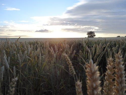 Darmowe zdjęcie z galerii z pole kukurydzy