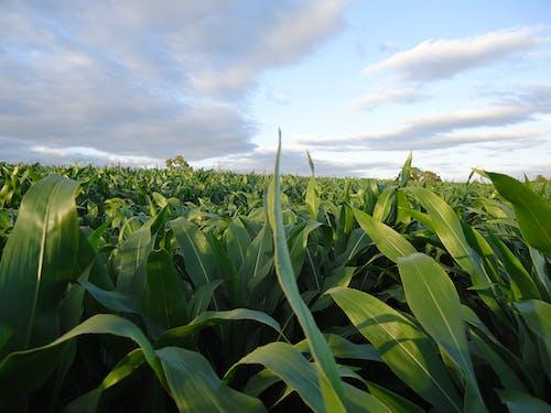 Darmowe zdjęcie z galerii z pole kukurydzy cukrowej
