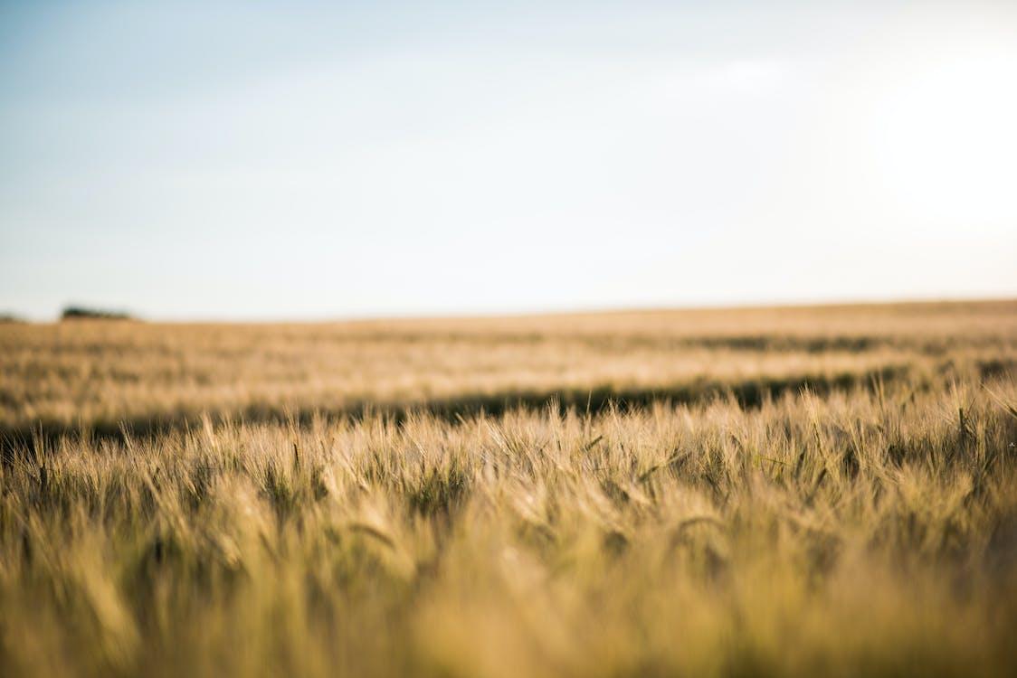 глибина різкості, кукурудза, пасовище