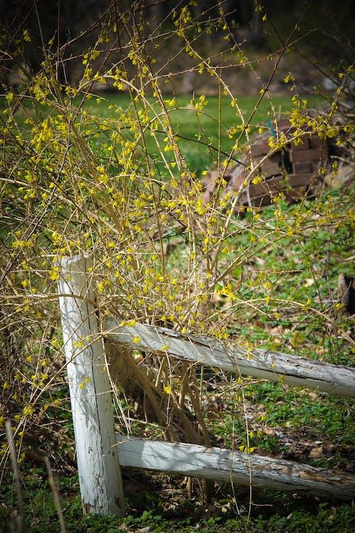 Immagine gratuita di cespuglio giallo, fiori gialli, giallo, recinzione in legno