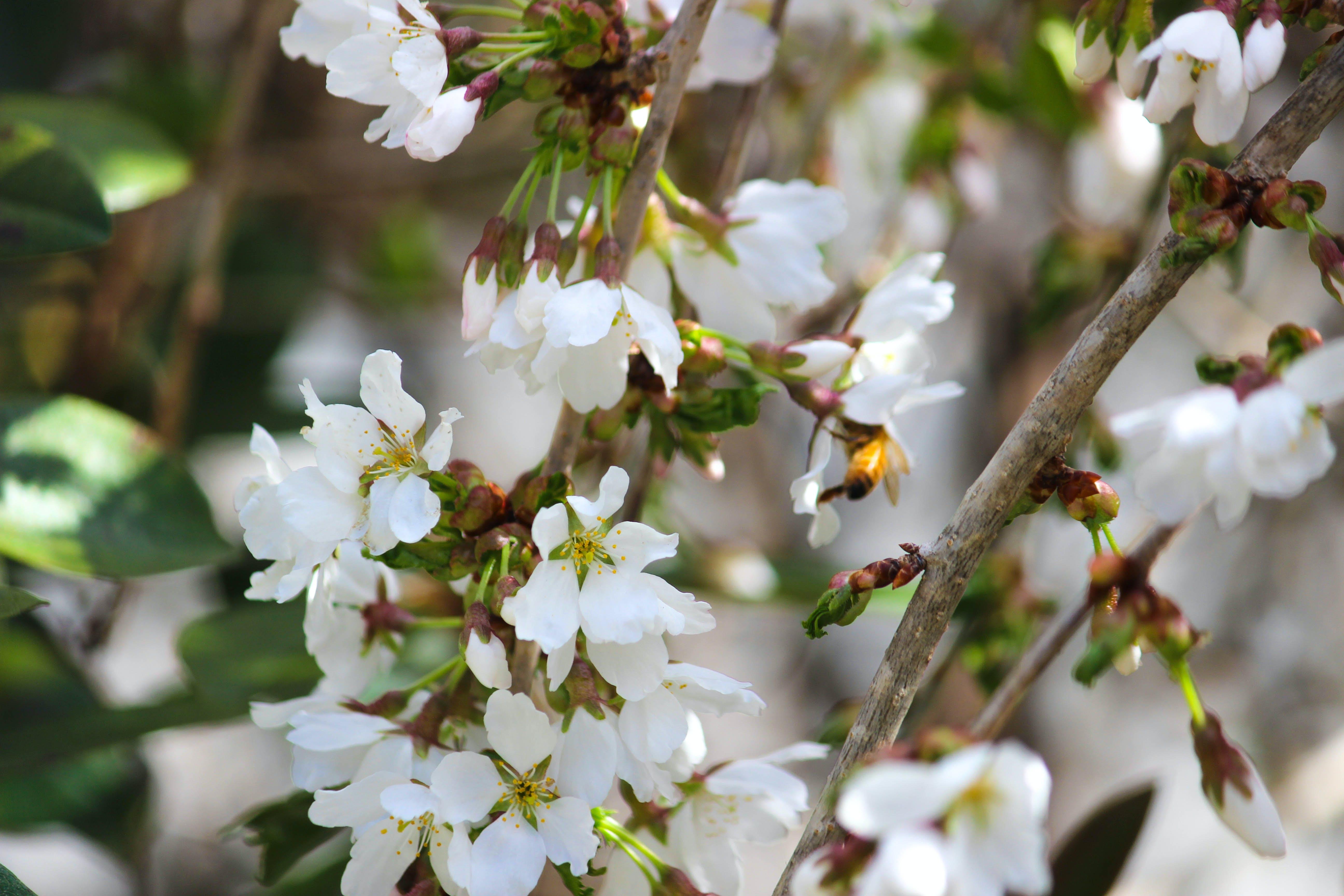 Δωρεάν στοκ φωτογραφιών με ανθοφόρος θάμνος, γύρη, μέλισσα