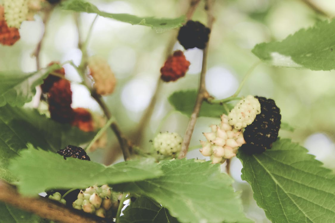 Free stock photo of berry, berry bush, green leaves