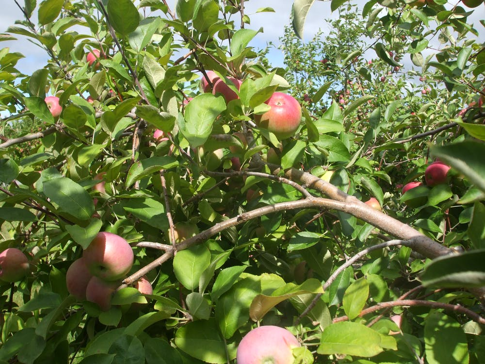 Free stock photo of apple orchard, apple picking, apple tree