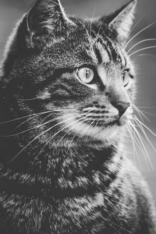Greyscale Photography of Tabby Cat