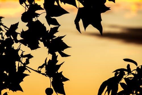 atardecer, 樹木, 樹葉 的 免费素材照片