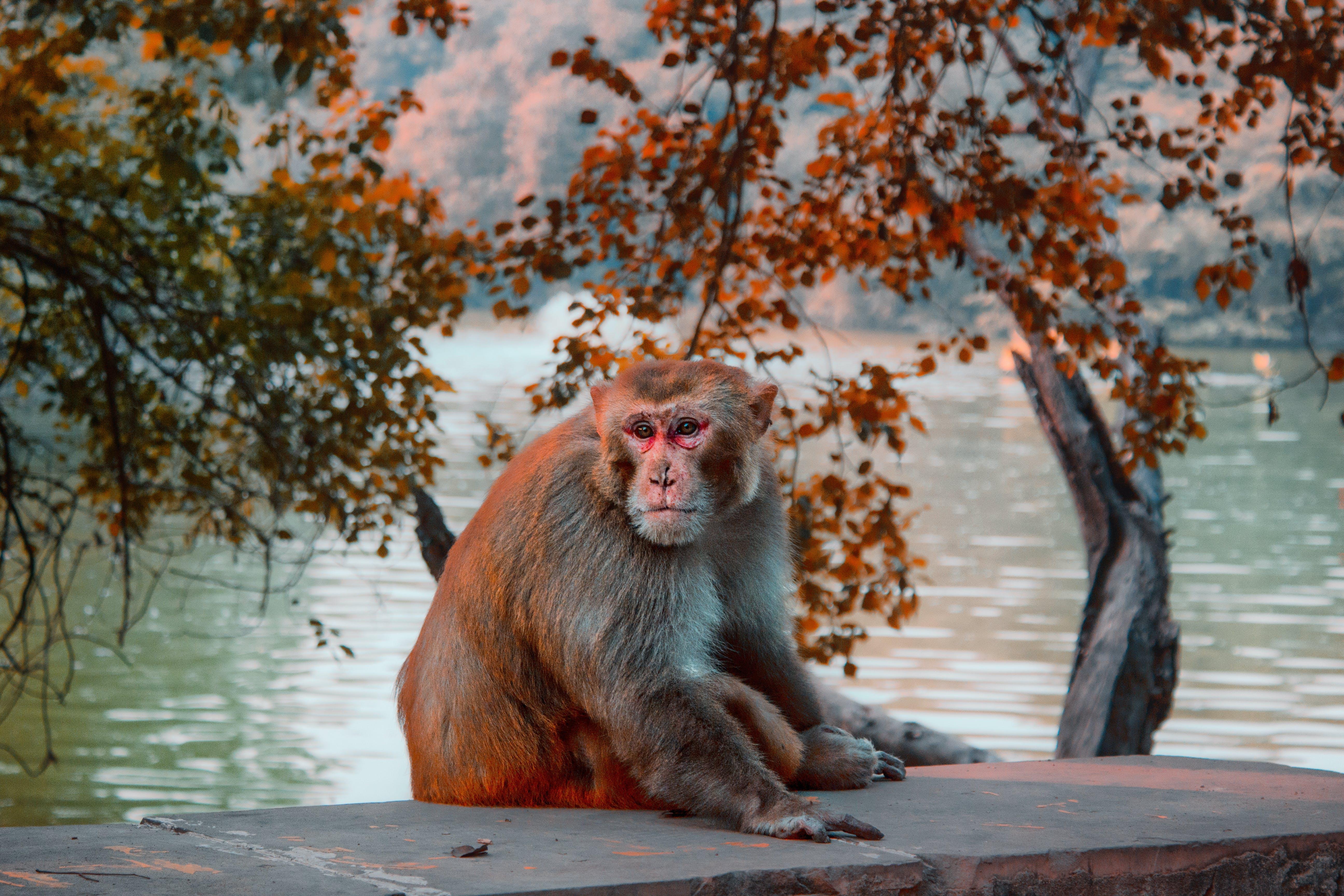 Photo of Brown Monkey Sitting Stone Pavement Near Body of Water
