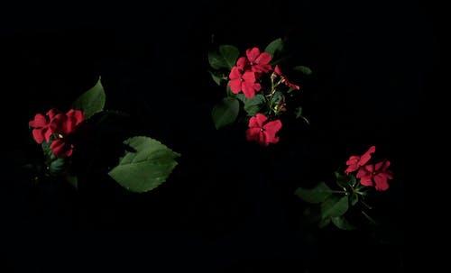 Immagine gratuita di buio, fiori bellissimi, fiori rossi, foglia verde
