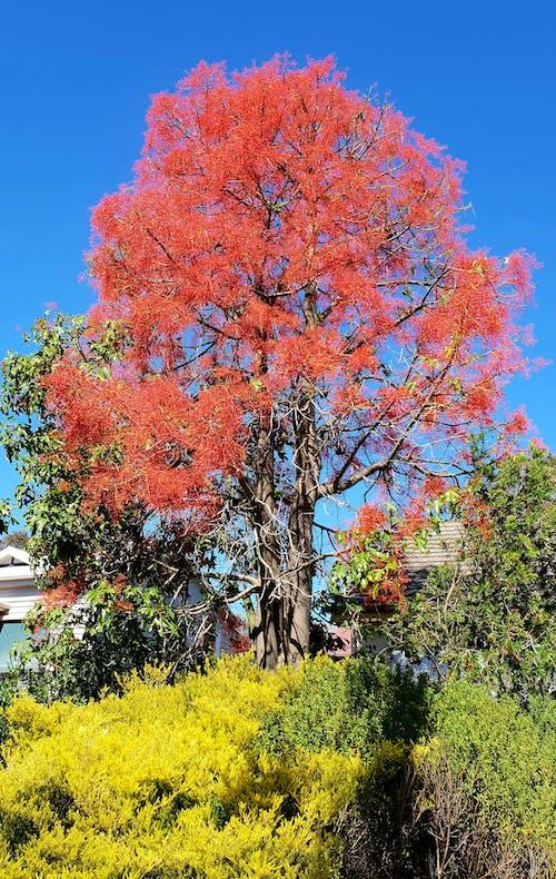 Foto profissional grátis de árvore de chama, árvore de floração de verão, árvore deslumbrante, árvore em flor