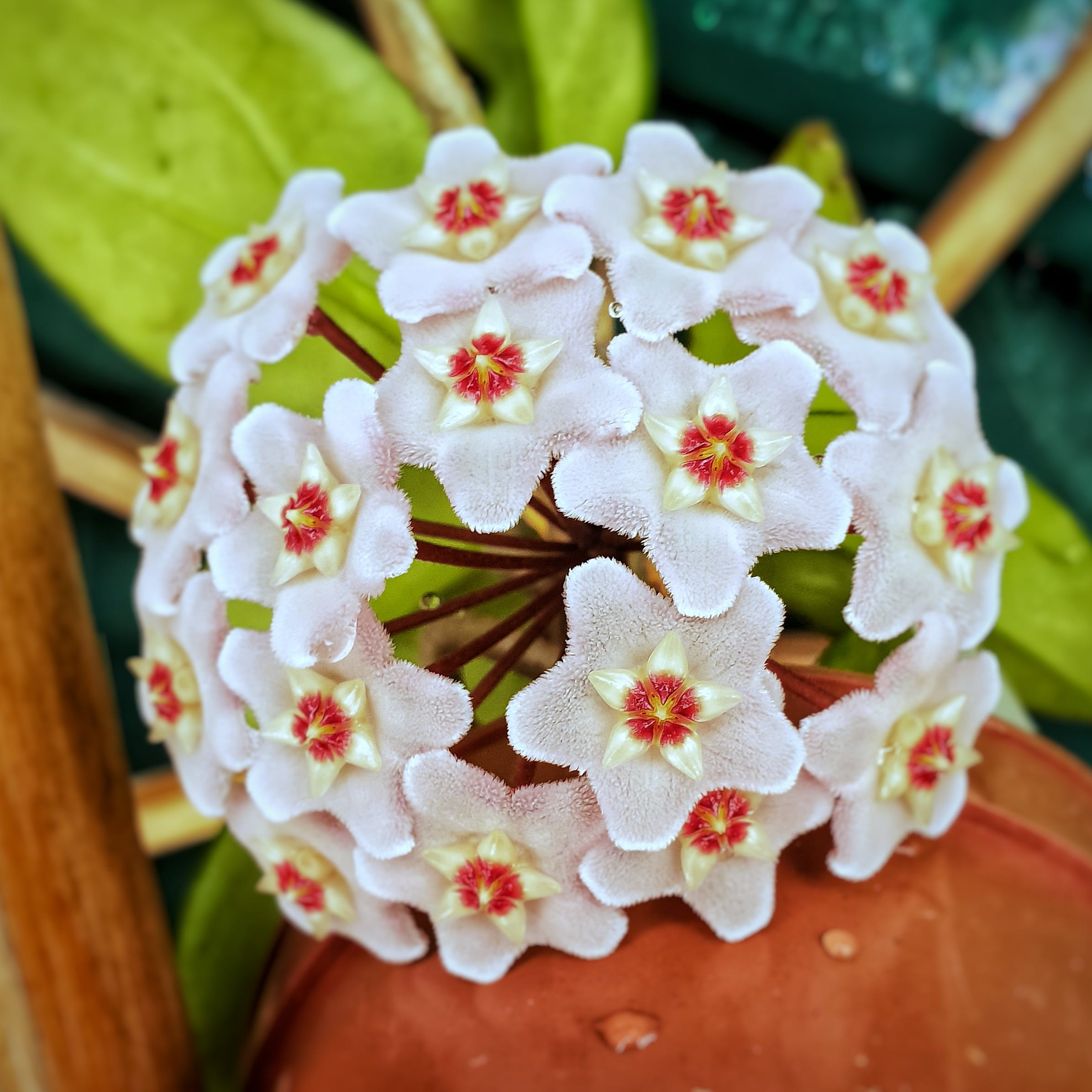 Free stock photo of beautiful flower, flower bud, furry, hoya flower