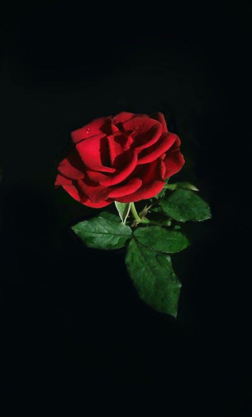 Immagine gratuita di buio, foglia di rosa, goccia d'acqua, Rosa rossa