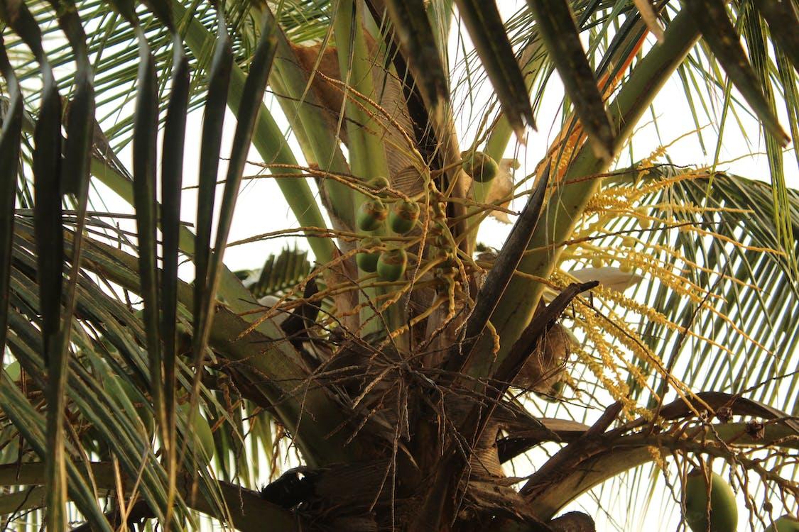 close up, coconut, coconut tree