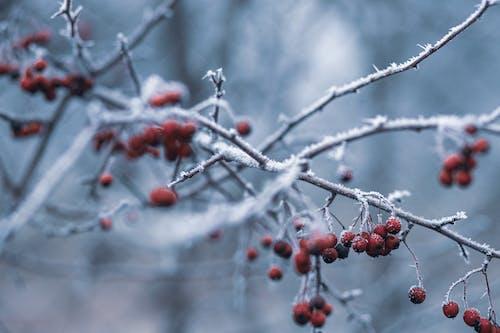 Бесплатное стоковое фото с hagebutte, зима, красный, лед