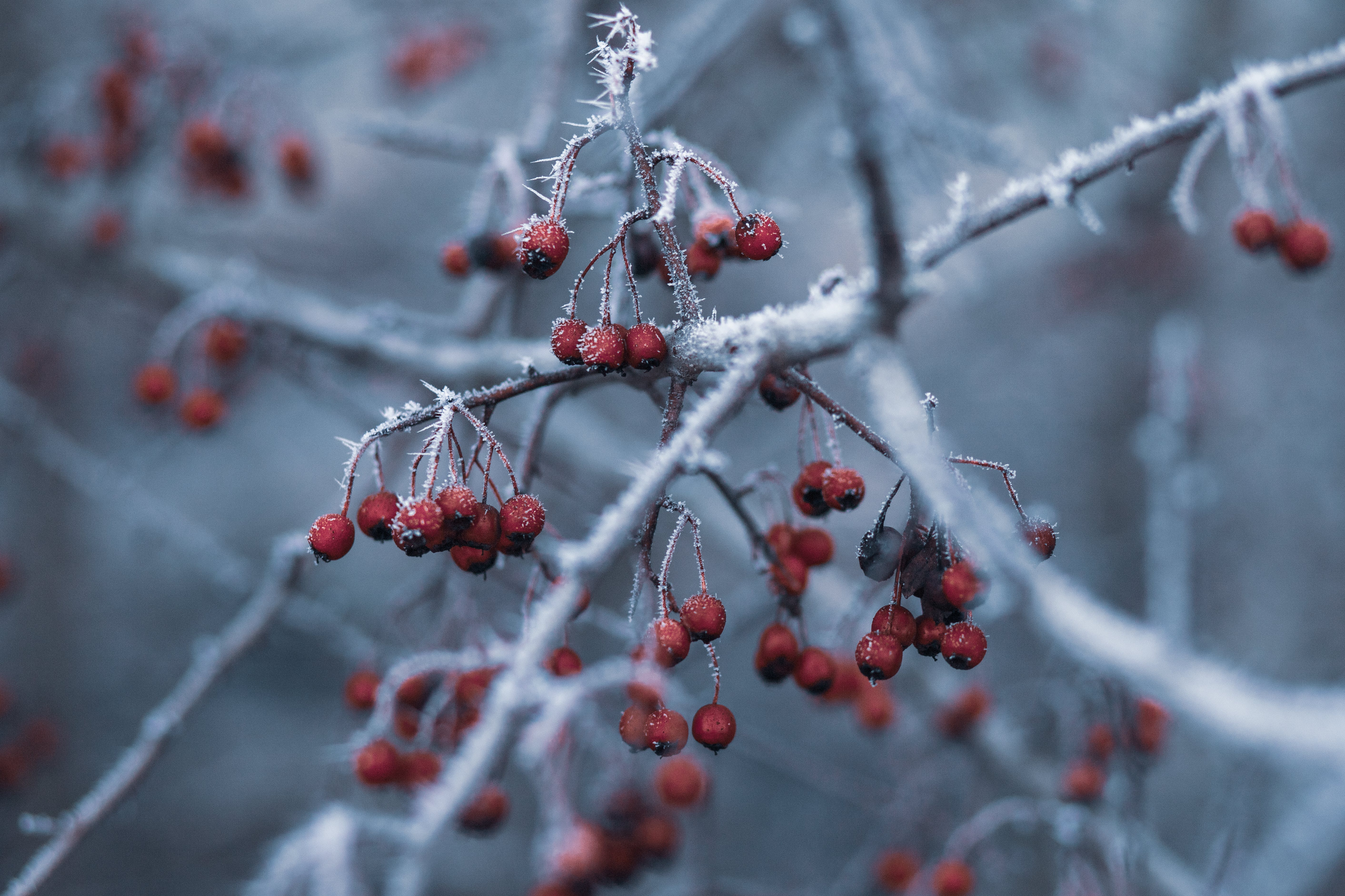 Selective Focus Photography of Red Fruits With Snow
