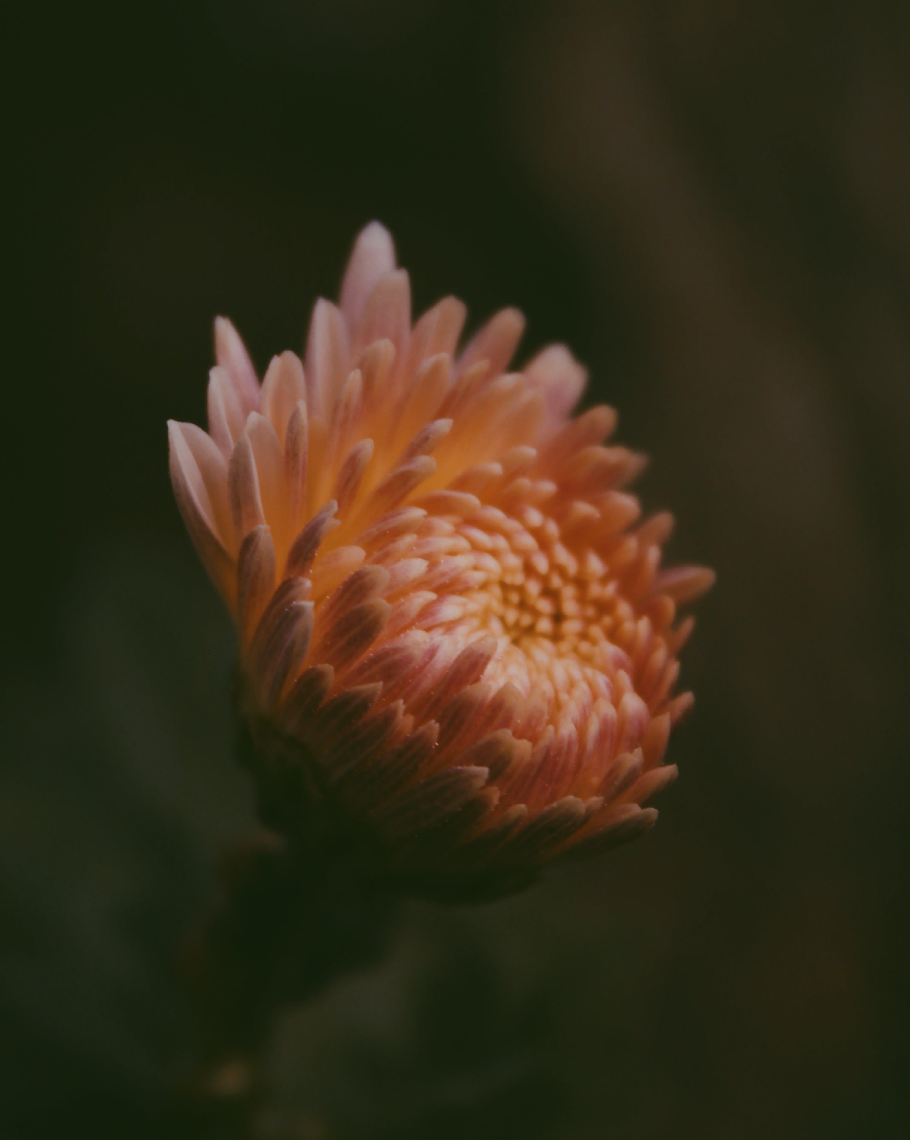 Close-up Photo of Orange Chrysanthemum Flower