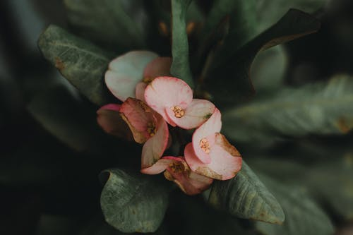 Close-up Photography of Pink Euphorbia Milii Flowers in Bloom