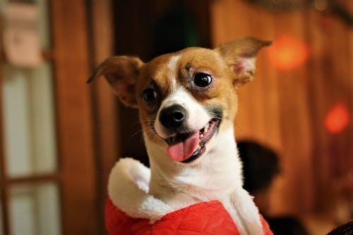 Free stock photo of chihuahua, dog, mix, puppy