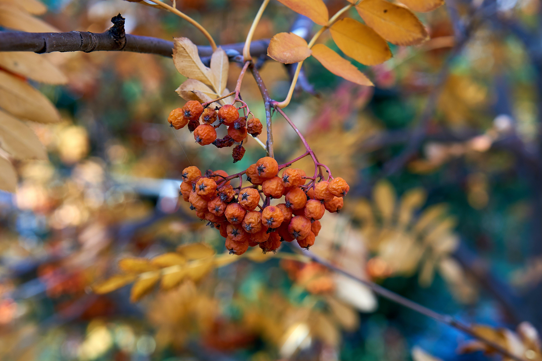 Free stock photo of autumn, berry, fetus, nature