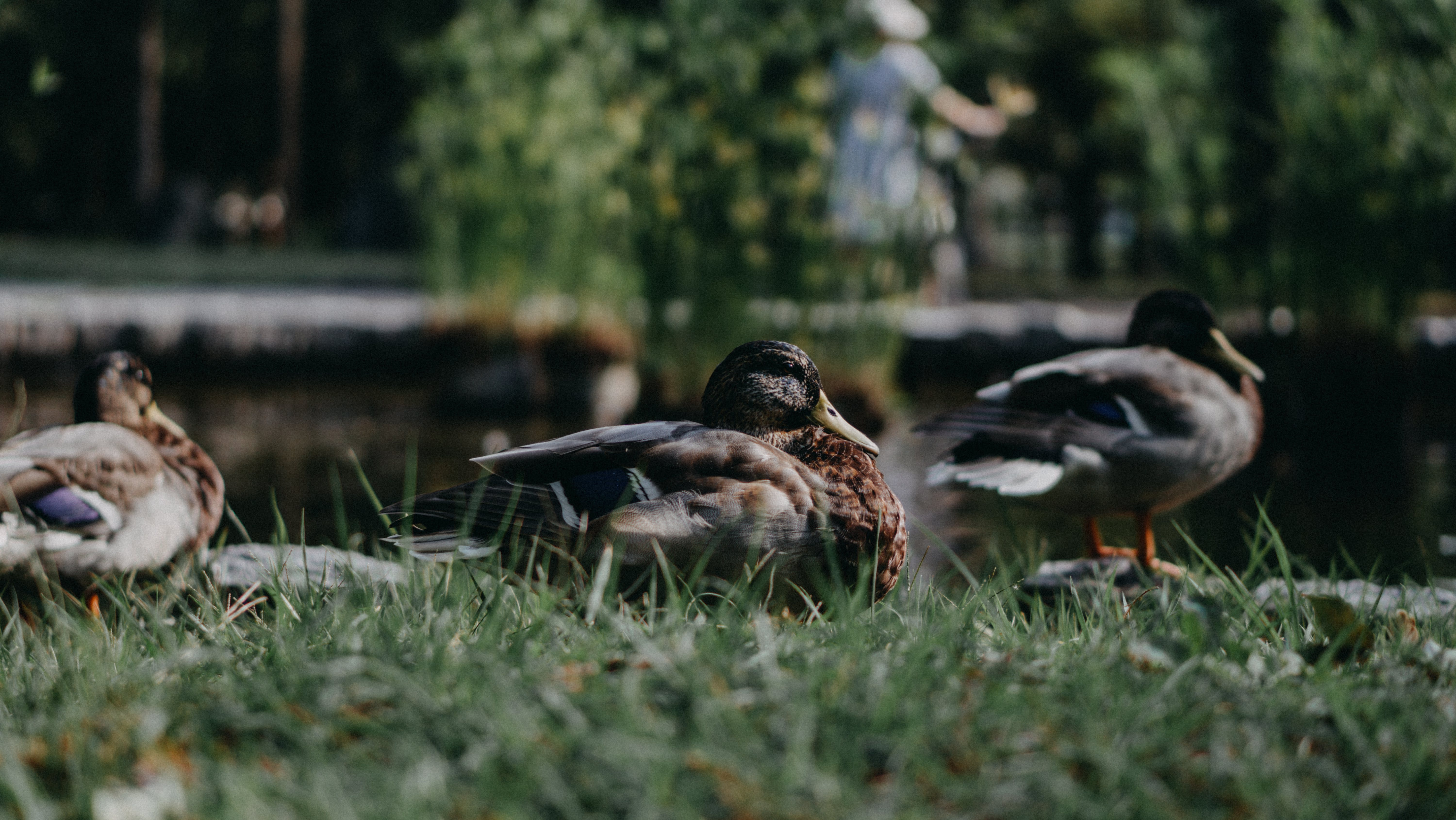 Close-Up Photo Of Ducks On Grass
