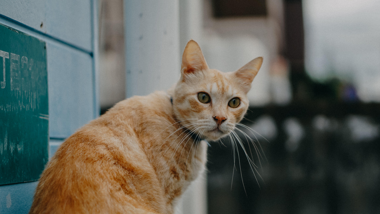 Základová fotografie zdarma na téma dívání, domácí mazlíček, fotografování zvířat, kočka