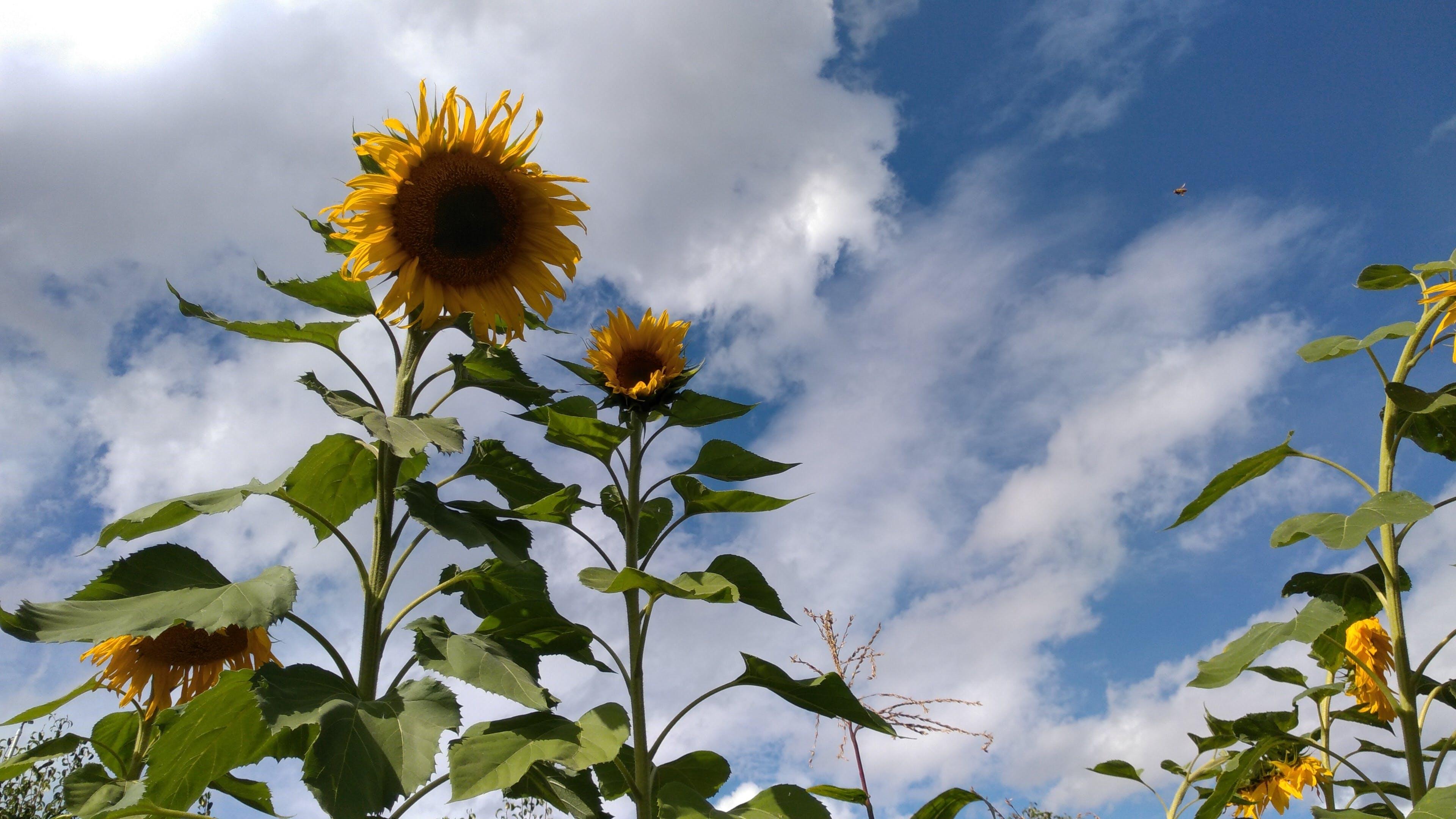 Free stock photo of clouds, farm, flower, sun flower