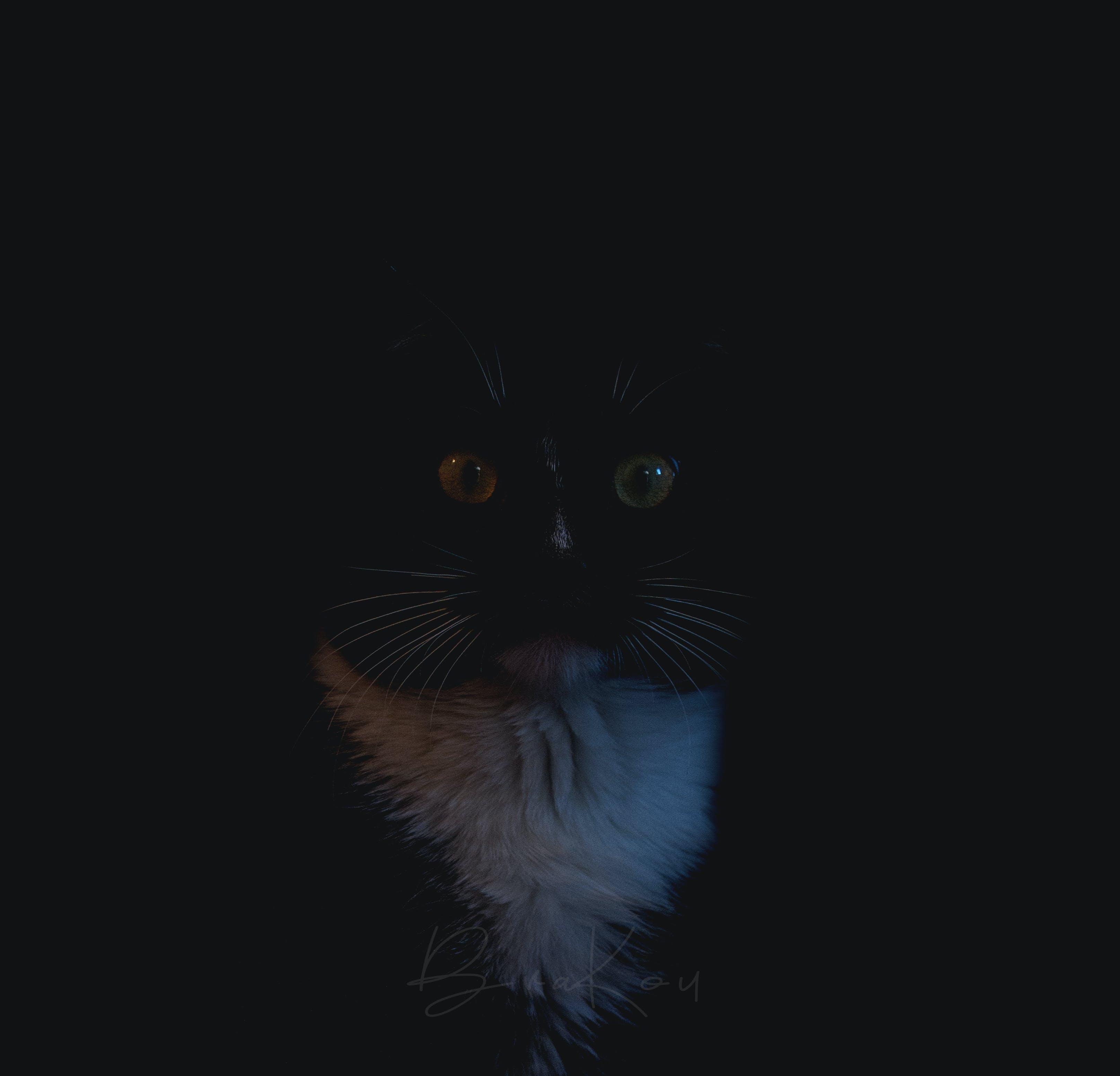 Imagine de stoc gratuită din animal, animal de casă, față de pisică, închis la culoare