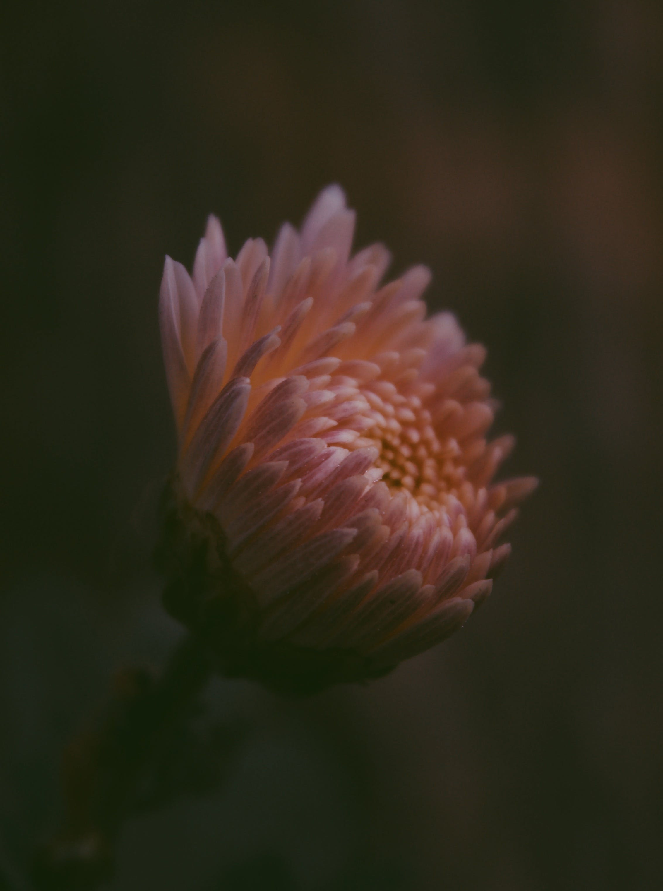 Selective Focus Photography of Pink Chrysanthemum X Grandiflorum Flower