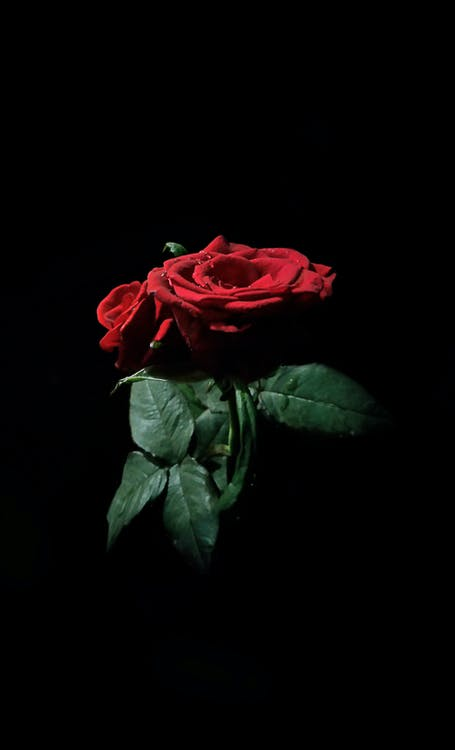 arrière-plan noir, bulles d'eau, feuille de rose