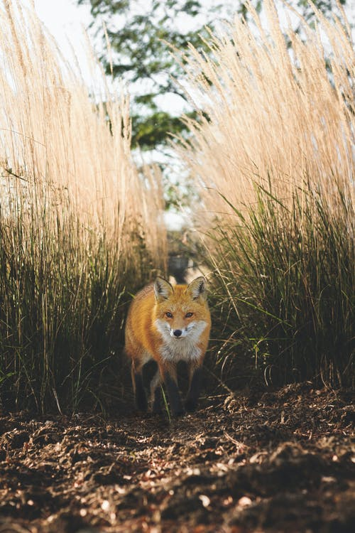 Free stock photo of adventure, animal, field, fox