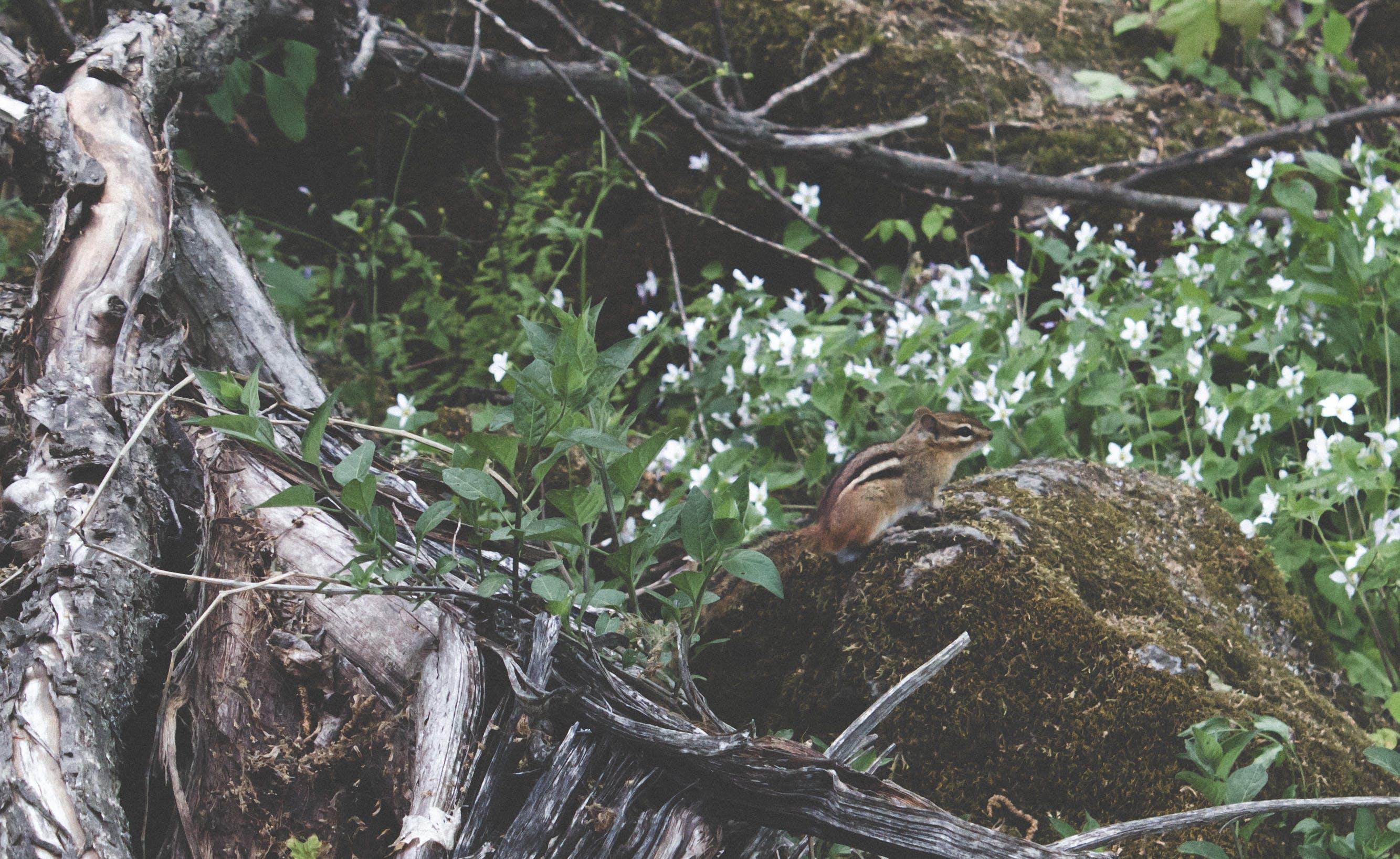 Fotos de stock gratuitas de ardilla, ardilla en el bosque, ardilla listada en la roca, ardilla rayada