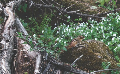 Free stock photo of chipmunk, chipmunk in forest, chipmunk on rock, flower