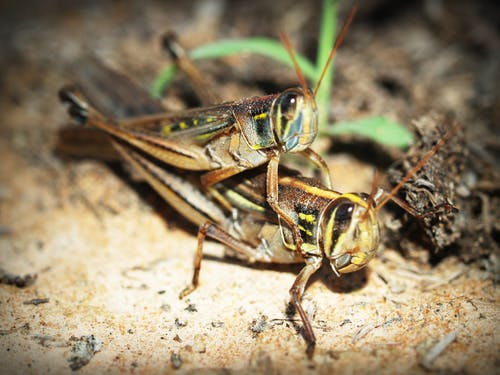 Two Brown Grasshoppers