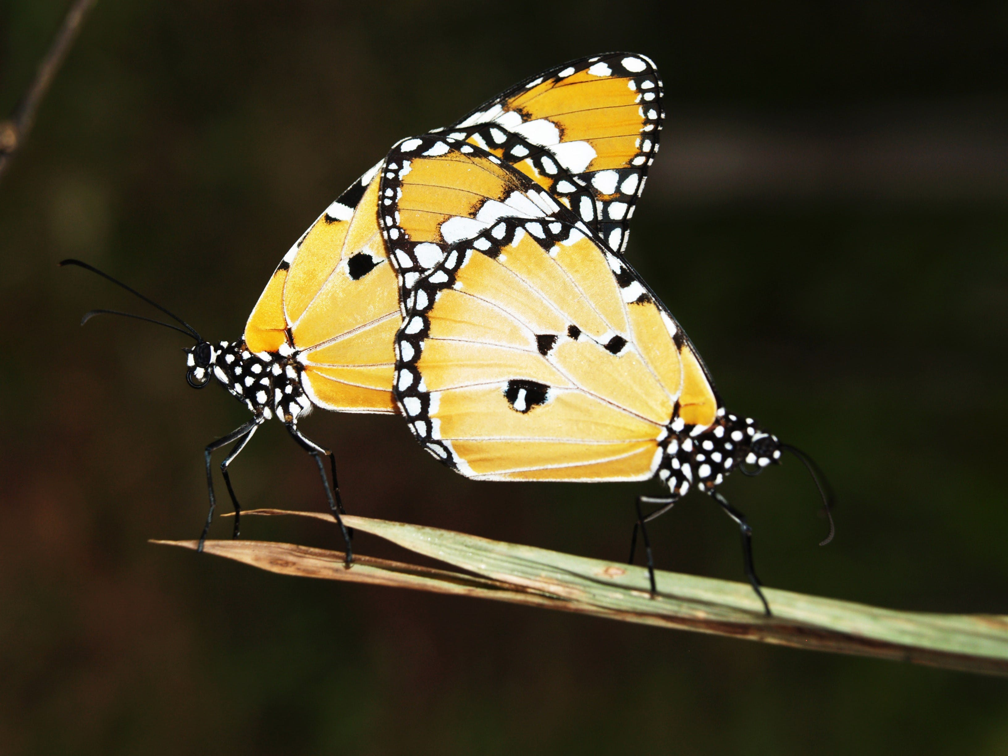 Yellow Black and White Monarch Butterfly