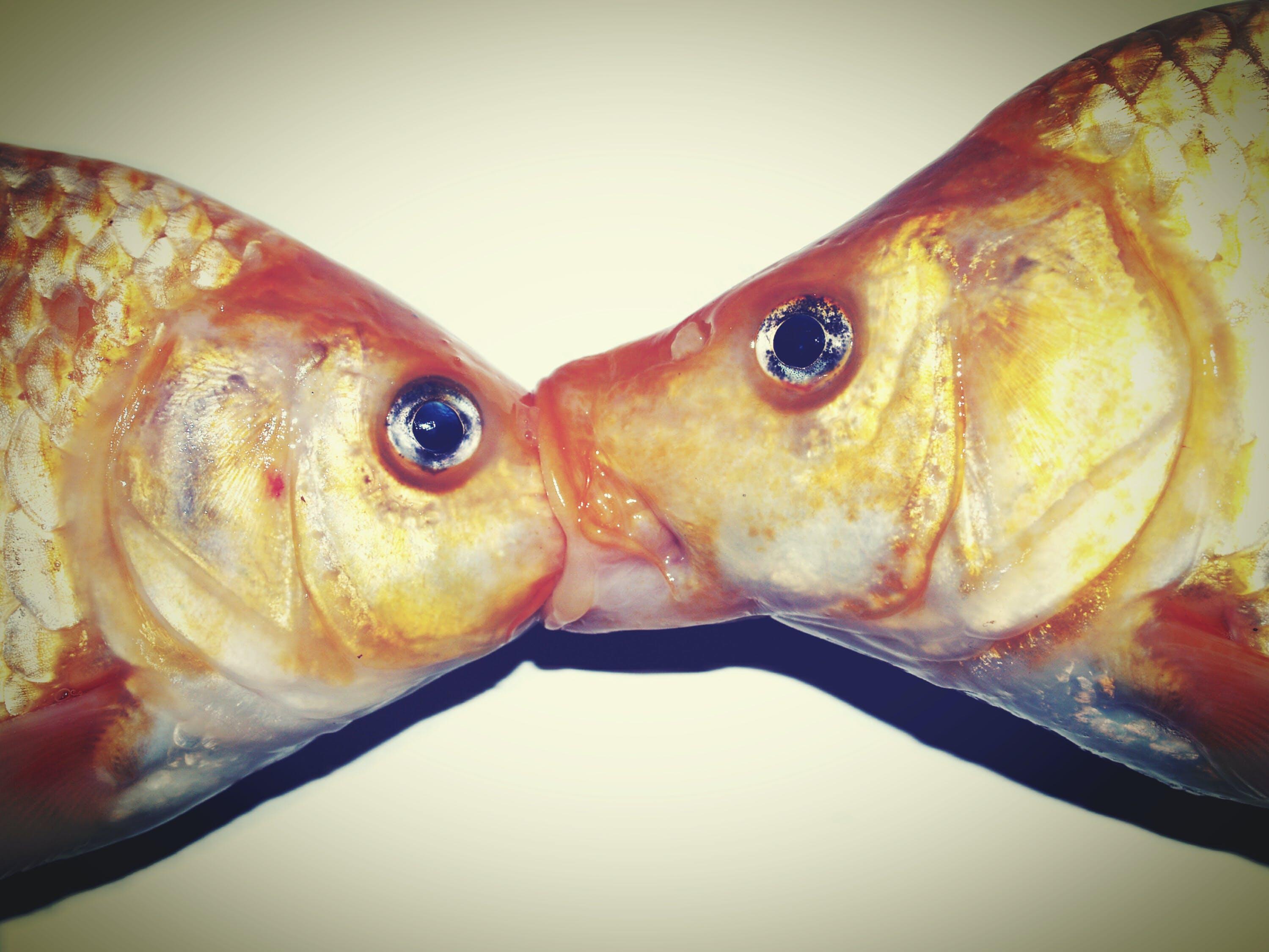 Free stock photo of animals, bream, close-up, fish