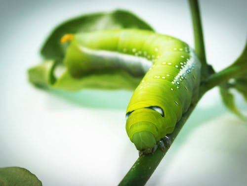 Green Tobacco Hornworm Caterpillar on Green Plant in Close-up Photography