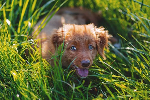Brown Short Haired Puppy Lying on Green Grass Field during Daytime