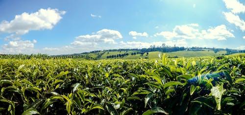 tigoni茶農場, 肯尼亞茶, 茶園 的 免費圖庫相片