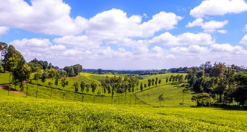 tigoni茶農場, 肯尼亞綠茶, 茶園 的 免費圖庫相片