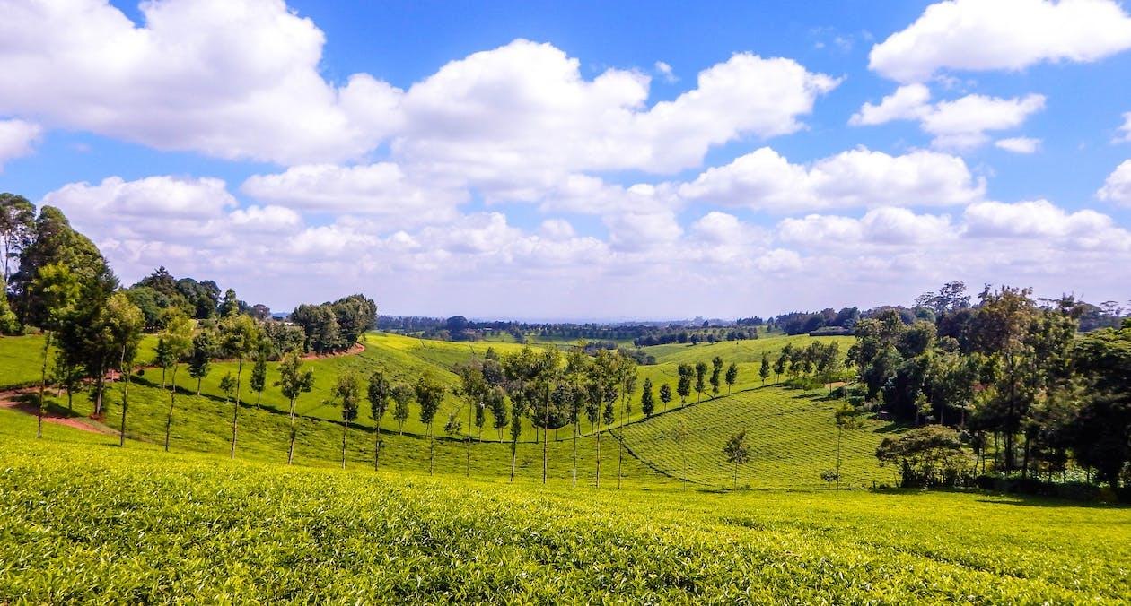 čajová farma, čajová farma tigoni, keňský zelený čaj