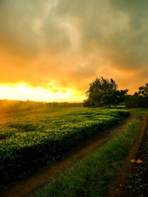 아프리카 차, 차 농장 도로, 케냐 차 농장의 무료 스톡 사진