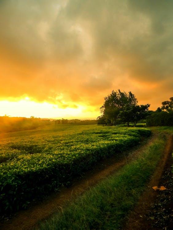afrikanskt, kenya te gård, tegårdsväg