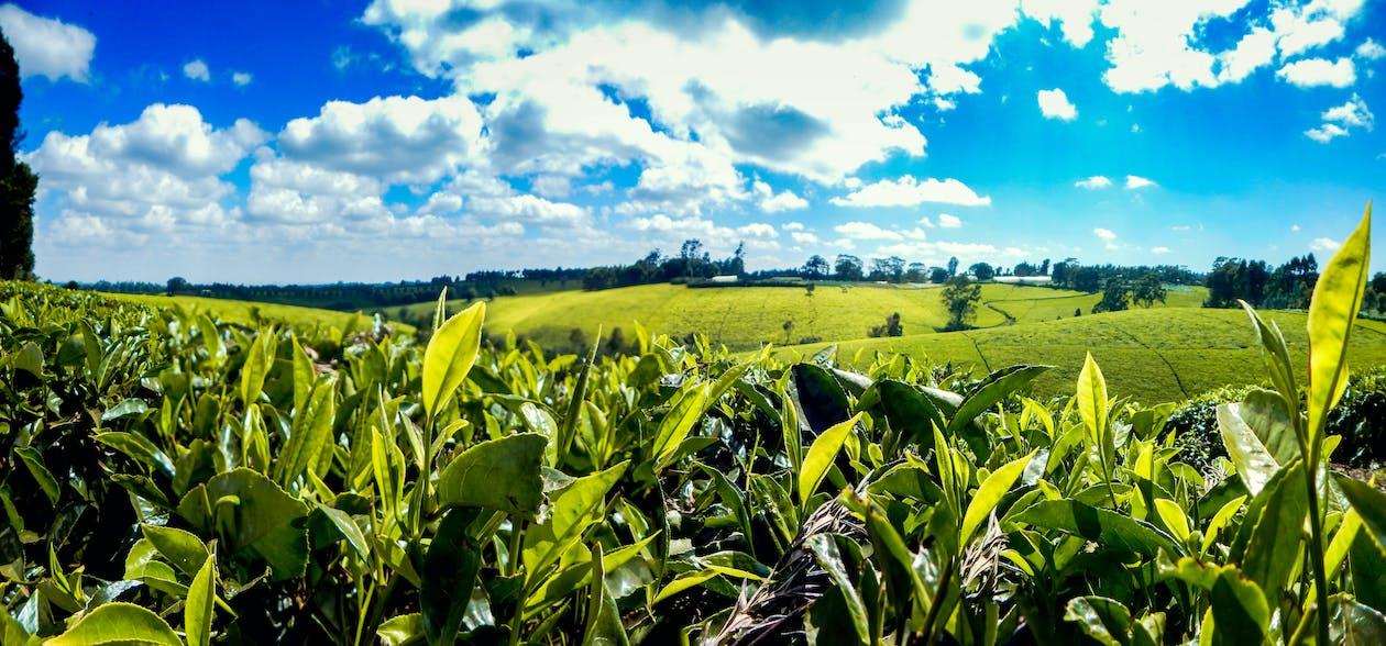 africký čaj, čajová farma, čajová farma tigoni