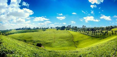 아프리카 차, 차 농장 케냐의 무료 스톡 사진