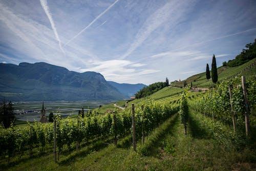 Бесплатное стоковое фото с виноградник, гора, заводы, италия