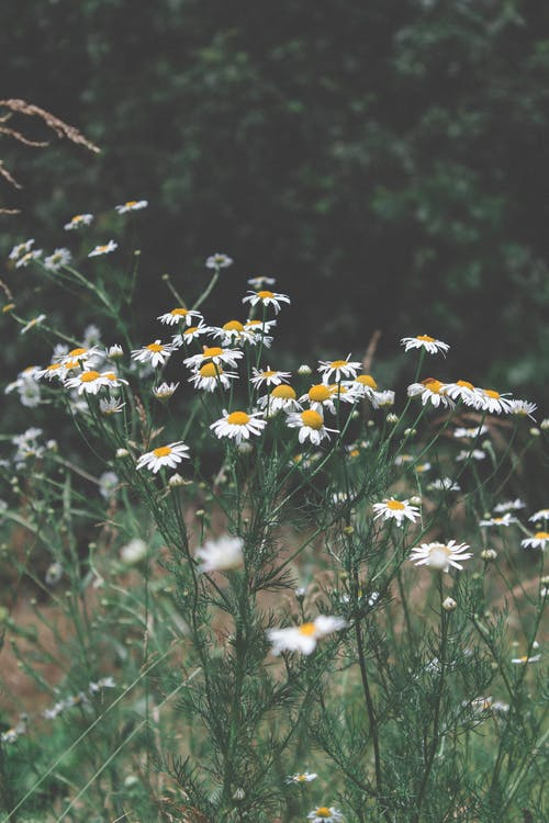 Free stock photo of daisy, flora, flower, flowers