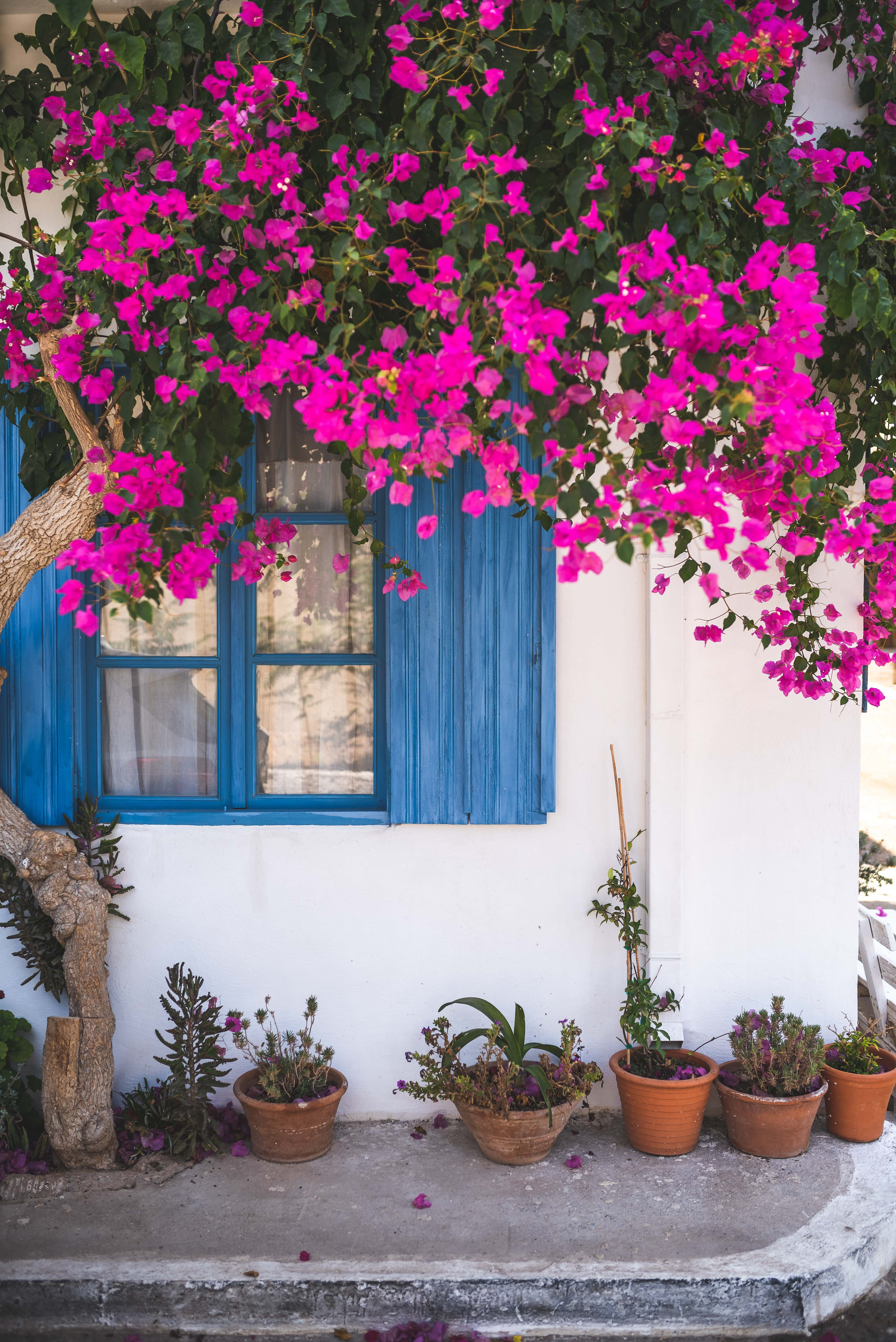 Pink Bougainvillea Flowers on Wall